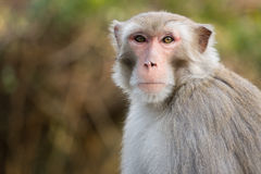 Macaque in Hong Kong Royalty Free Stock Images