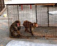 Macaque i en bur Fotografering för Bildbyråer