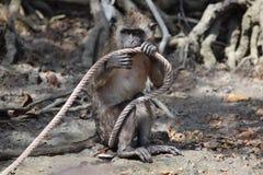 Macaque i hinder som spelar med ett rep Fotografering för Bildbyråer