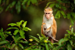Macaque i naturlivsmiljön, Sri Lanka Detalj av apan, djurlivplats från Asien Härlig färgskogbakgrund Macaque i t arkivbild