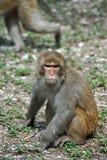 Macaque i Vietnam royaltyfria foton