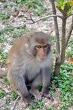 Macaque i Vietnam arkivfoto