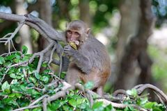 Macaque i Vietnam arkivfoton
