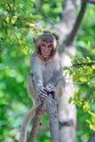 Macaque i Vietnam royaltyfri foto