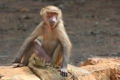 Macaque im Zoo. Lizenzfreie Stockfotografie