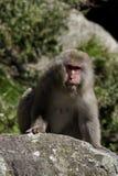 macaque japanee Стоковые Фотографии RF