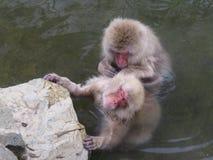 Macaque japonés Fotos de archivo libres de regalías