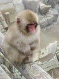Macaque japonés Imagen de archivo libre de regalías