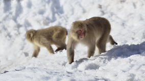 Macaque japonés Foto de archivo