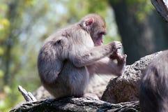Macaque japonés Fotografía de archivo libre de regalías
