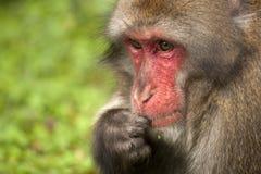 Macaque japonés Foto de archivo libre de regalías
