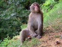 Macaque japonés en bosque Imagenes de archivo