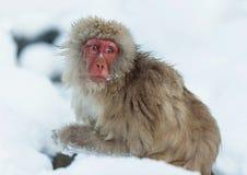 Macaque japonés en la nieve imagen de archivo libre de regalías