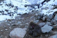 Macaque japonés en Nagano Foto de archivo