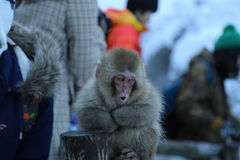 Macaque japonés en Nagano Foto de archivo libre de regalías