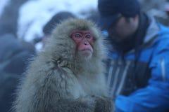 Macaque japonés en Onsen Fotografía de archivo libre de regalías
