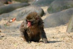 Macaque japonés joven Fotos de archivo libres de regalías