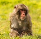 Macaque japonés medio dormido del poder Fotografía de archivo libre de regalías