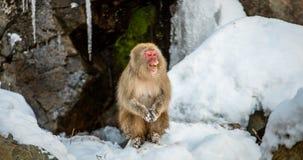 Macaque japonés que se sienta en una nieve Nombre cient?fico: Fuscata del Macaca, tambi?n conocido como el mono de la nieve H?bit fotografía de archivo