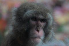 Macaque japonés, retrato del primer Imagenes de archivo