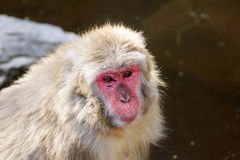 Macaque japonés triste Imagen de archivo libre de regalías