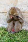 Macaque japonês Fotografia de Stock Royalty Free