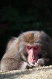 Macaque japonês, Arashiyama, Kyoto, Japão Foto de Stock