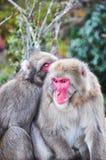 Macaque japonês, Arashiyama, Kyoto, Japão Fotografia de Stock