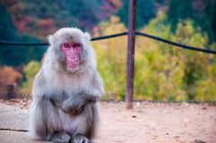 Macaque japonês, Arashiyama, Kyoto, Japão Imagem de Stock Royalty Free