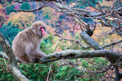Macaque japonês, Arashiyama, Kyoto, Japão Imagens de Stock