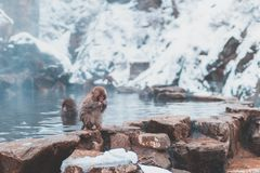 Macaque japonês do bebê fotos de stock royalty free