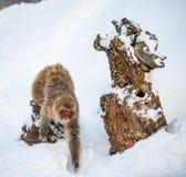 Macaque japonês que corre na neve Esta??o do inverno naughty fotografia de stock
