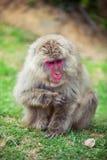 Macaque japonês que senta-se na grama, Arashiyama, Kyoto, Japão Imagem de Stock