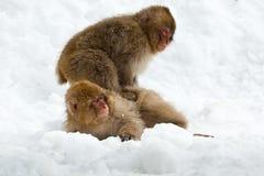 Macaque japonais Images stock