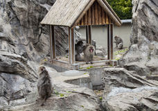 Macaque japonais Photo stock