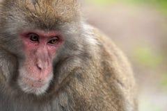 Macaque japonais image stock