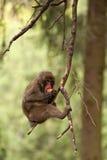 Macaque japonais photos stock