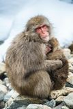 Macaque japonais avec un petit animal par temps froid d'hiver Parc de Jigokudani Nagano Japon Le nom scientifique de macaque japo images stock