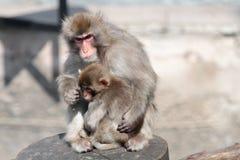 Macaque japonais (fuscata de Macaca), également connu sous le nom de singe de neige Photos libres de droits