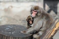 Macaque japonais (fuscata de Macaca), également connu sous le nom de singe de neige Photos stock