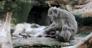 Macaque japonais nettoyant des autres dents de singe banque de vidéos