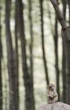 Macaque joven del mono de la fauna Fotografía de archivo