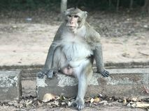 Macaque in Kambodja stock afbeelding