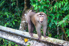 Macaque at Khao Yai National Park Royalty Free Stock Images