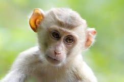 Macaque krab-Etende macaque Macaca fascicularis met lange staart stock afbeeldingen