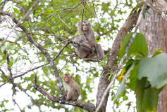 Macaque krab-Etende macaque Macaca fascicularis met lange staart Stock Foto's