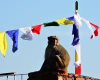Macaque la India del macaco de la India del bebé de la madre del mono Imagenes de archivo