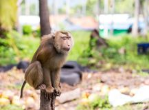 Macaque large brown with long tail crabs sitting on a tree trunk on a blurred background royalty free stock image