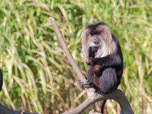 macaque León-atado que come las frutas - retrato Fotos de archivo