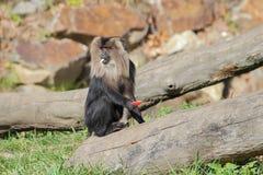 macaque León-atado que come las frutas - retrato Foto de archivo